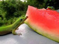 Две зеленые ящерицы едят арбуз