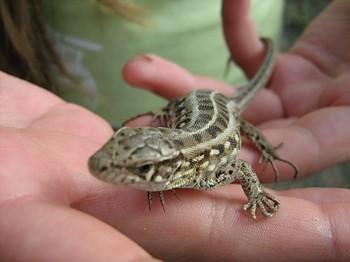 Коричневая ящерица на руке