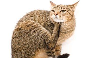 Если кота укусил клещ последствия