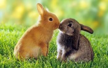 Рыжий и серый кролик целуются