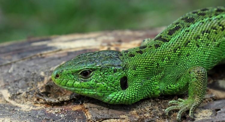 Зеленая ящерица на пеньке