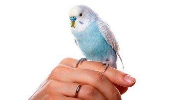 Голубой волнистый попугай сидит на руке