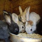 Много кроликов едят из миски