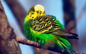 Волнистый попугай нахохлился