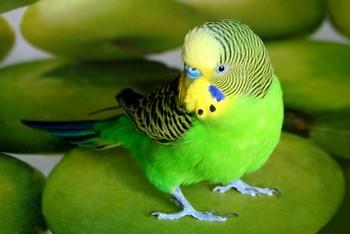 Зеленый волнистик подозрительно смотрит