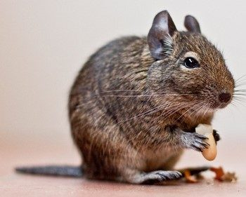 Белочка дегу ест орешек