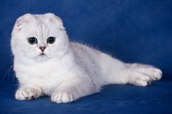 Белый кот шотландец