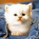 Белый котенок в джинсах