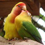 Два попугая неразлучника