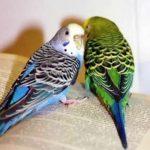 Два волнистых попугая на книжке