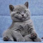 Серый шотландский котенок