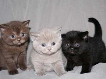 Три котенка шотландца