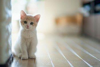 Бело-рыжий котенок смотрит