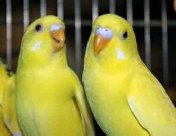 Два желтых волнистых попугая
