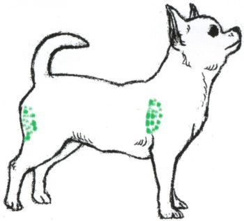 Места для внутримышечного укола собаке