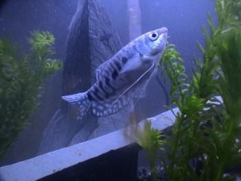 Рыбка мраморная гурами в аквариуме