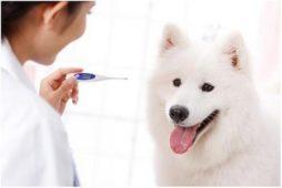 Собака и электронный градусник
