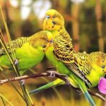 Три волнистых попугая сидят на ветке