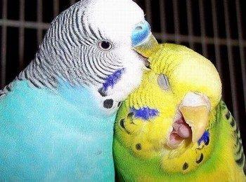 Волнистый попугай кусает другого