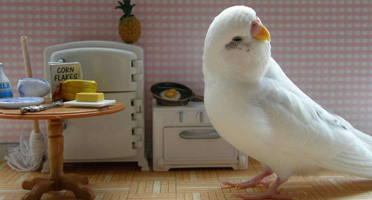 Белый волнистый попугай отворачивается от еды