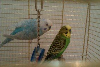 Можно ли сажать двух попугаев в одну клетку 14