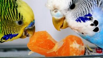 Два волнистых попугая едят мандарин