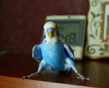 Прикольный волнистый попугай