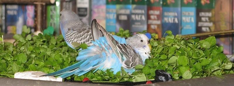 Волнистый попугаи в траве