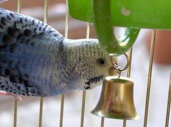Волнистый попугай играет с колокольчиком