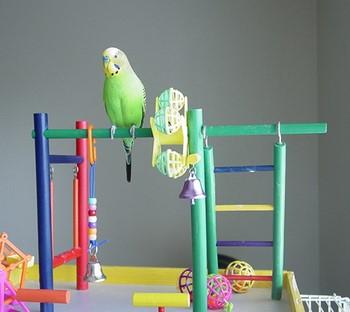 Волнистый попугай с игрушками