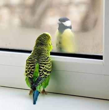 Волнистый попугай увидел птицу за окном