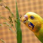 Волнистый попугайчик ест зелень