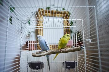 Два волнистых попугая в клетке на жердочке