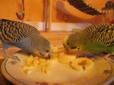 Волнистые попугаи едят банан