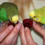 Волнистые попугаи едят черешню