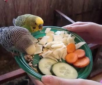Волнистые попугаи едят овощи с тарелки