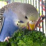 Волнистый попугайчик ест цветную капусту