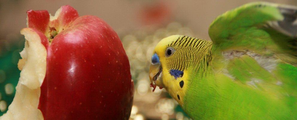 Зеленый волнистый попугайчик ест яблоко