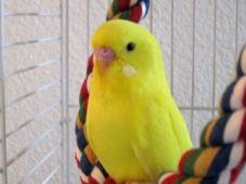 Желтый волнистый попугай на канате