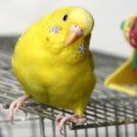 Желтый волнистый попугай смотрит в камеру