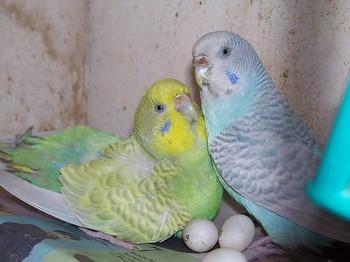 Два волнистых попуйчика охраняют свои яйца