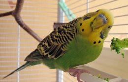 Смешной волнистый попугайчик