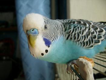 Волнистый попугай внимательно смотрит