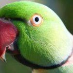 Зеленый ожереловый попугай