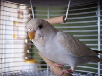 Белый волнистый попугай смотрит на тебя