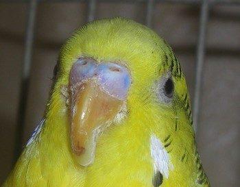 Болезнь люва у волнистого попугайчика