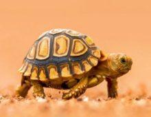 Черепаха идет по пустыне