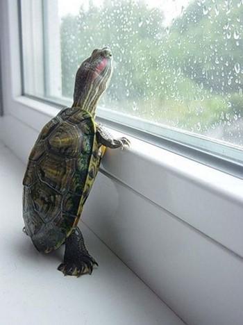 Черепашка смотрит в окно на дождь