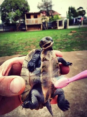 Черепашку щекотят зубной щеткой