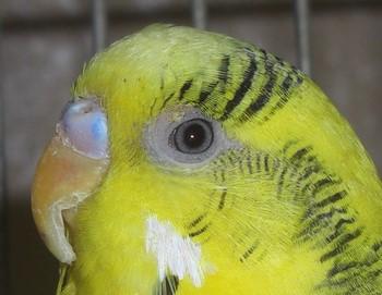 Длинный клюв у волнистого попугая